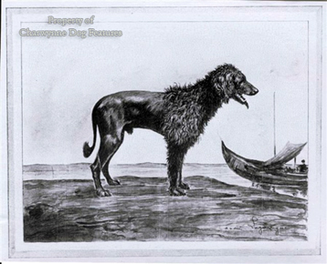 Portuguese Water Dog of 1908